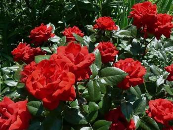 Черенкование розы, способы у…