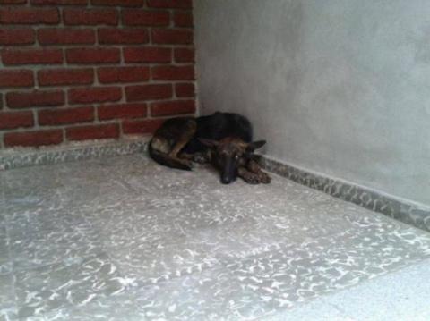 Бездомная собака прошла 160 километров в поисках любви
