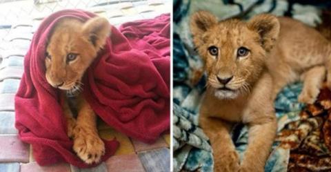 Спасенный львёнок не может с…