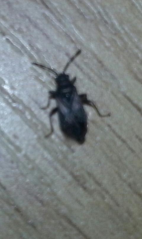 Подскажите что за жук,и как с ним бороться?