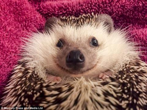 В Британии поселился самый улыбчивый ежик