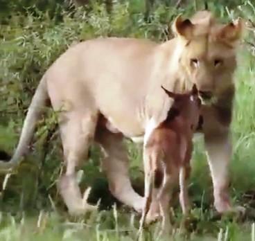 Милота без границ — львица …