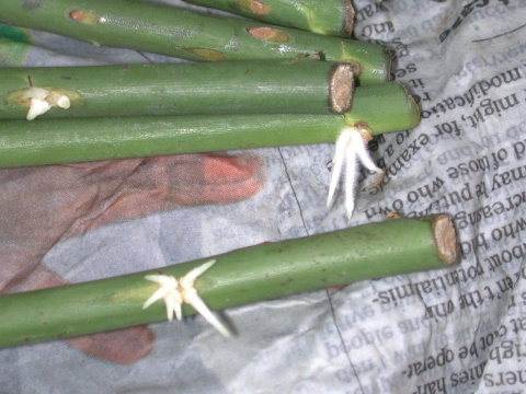 Размножение роз методом бурр…
