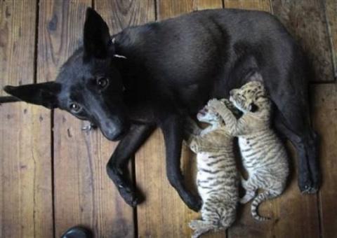 Новая мама для тигрят