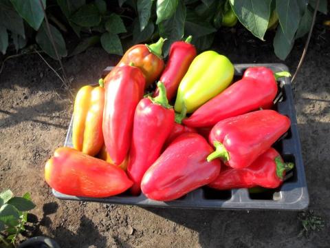 Пять победных правил шикарного болгарского перца