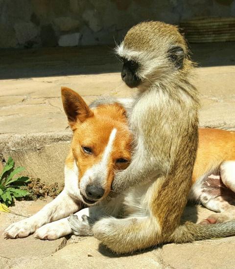 Спасенная обезьянка Гораций - самое дружелюбное животное!