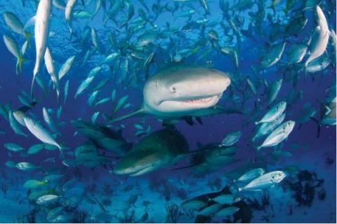Акулы вблизи: «пастух акул» …