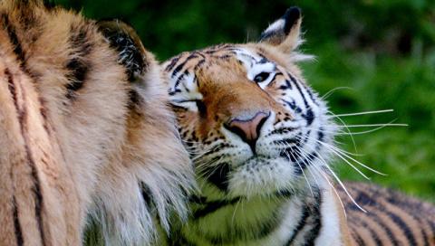В Китае цирковой тигр сбежал…