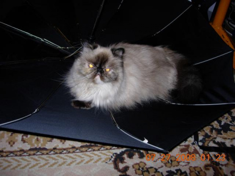 Любимая кошка Алиса.