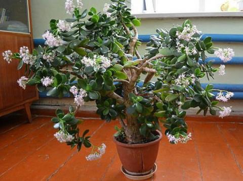 Цветок денежного дерева — пр…