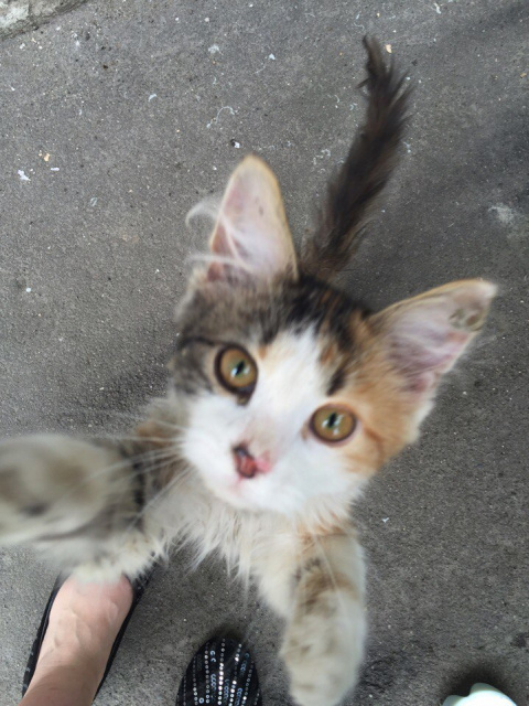 Трехцветный котенок с облезлым хвостом, очень громко плакал и просил зайти