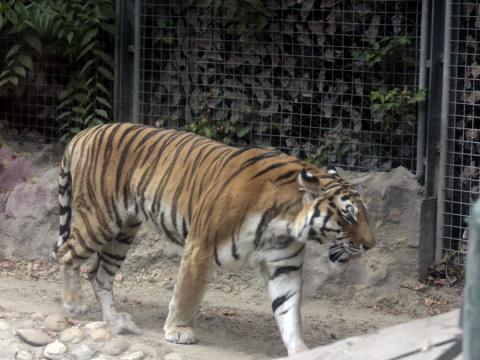 Тигр разодрал сотрудницу зоопарка в Калифорнии