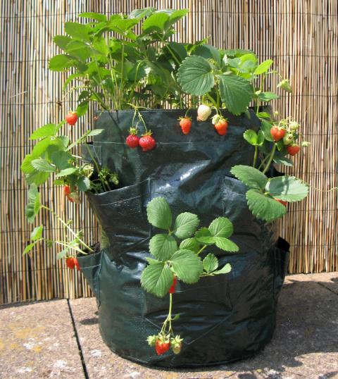 Как выращивать клубнику в мешках круглый год