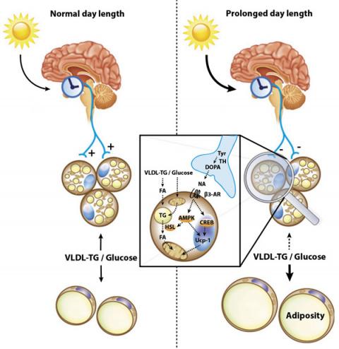 Искусственное удлинение светового дня приводит к ожирению