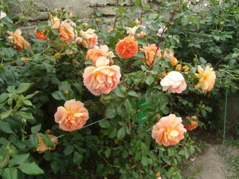 Романтические розы: нет пред…