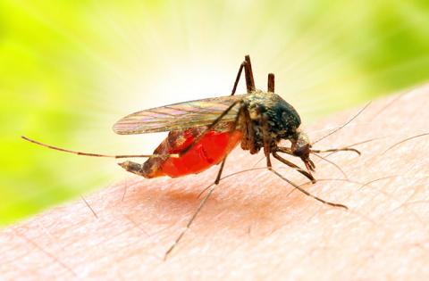 Дикая пчела: любопытные факты о комарах
