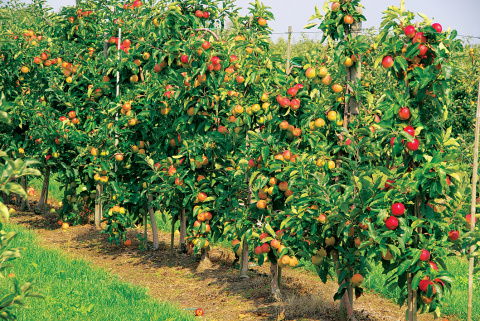 Карликовый сад – преимущества и недостатки