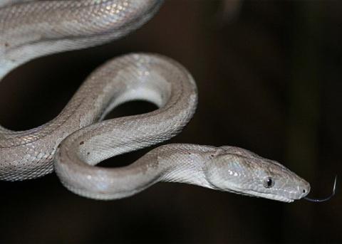 На Багамах нашли новый вид змей - серебряного удава
