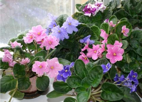 7 причин, почему не цветут комнатные фиалки