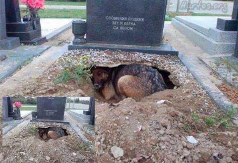 Эта собака осталась преданно…