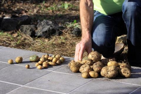 Почему картофель вырастает уродливым