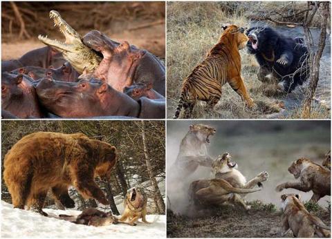Бой в дикой природе