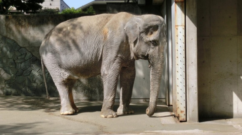 Самая печальная слониха в мире умерла после 60 лет, проведенных в клетке
