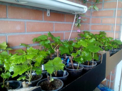 Вырастить виноград на балконе легко!