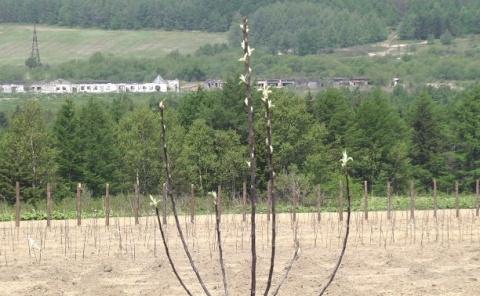 На Сахалине высадили первый яблоневый сад