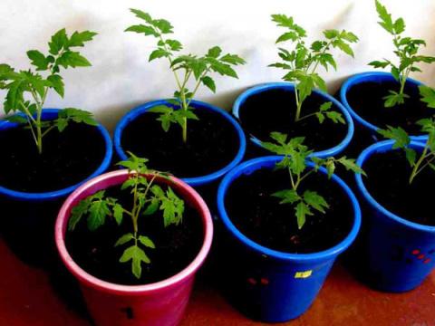 Вырастила в ведрах отличный урожай помидоров