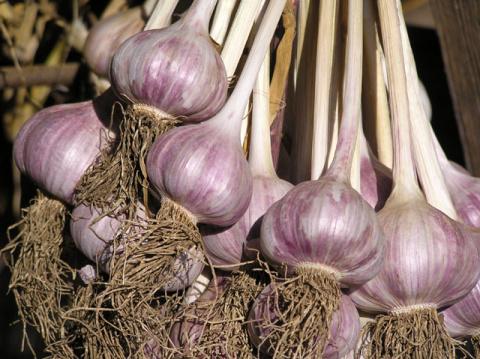 Как повысить урожай чеснока подкормками