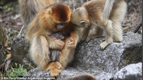 Ученым удалось застать обезьяну-«акушерку» за работой