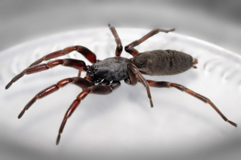 Белохвостый паук сломал жизнь человеку