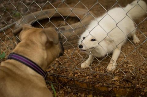 История о том, как лисенок подружился с собакой