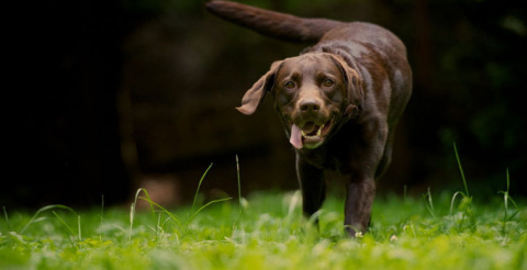 Выяснилось, что сердца собак…