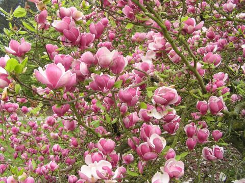 Магнолия суланджа цветет даже там, где не растут магнолии