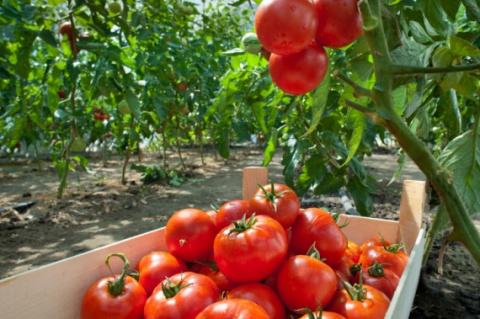 Какие травы и цветы помогут повысить урожайность томатов