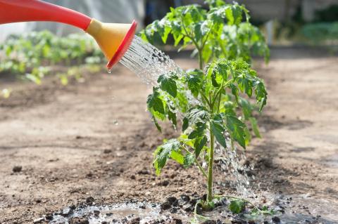 Как правильно поливать томаты