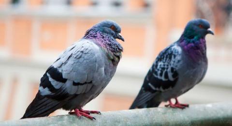 Голуби – удивительные птицы