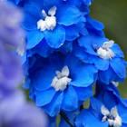 Цветочный гороскоп кельтов: июнь, июль, август