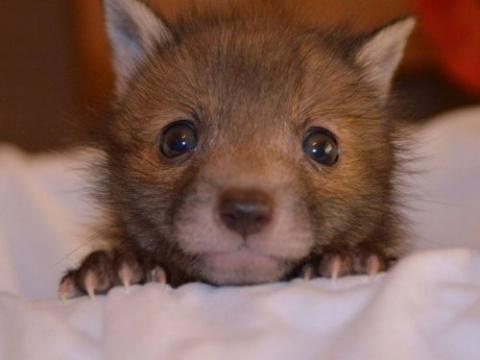 Спасённый лисёнок и его люби…