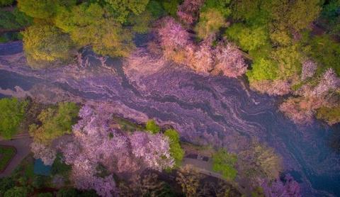 Цветение сакуры в токийском Парке Инокасира