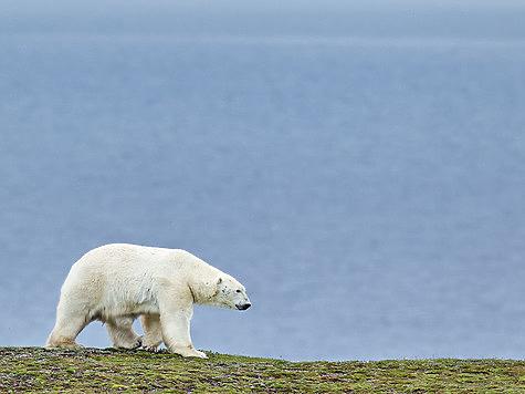 Белый медведь: верхушка пищевой цепочки