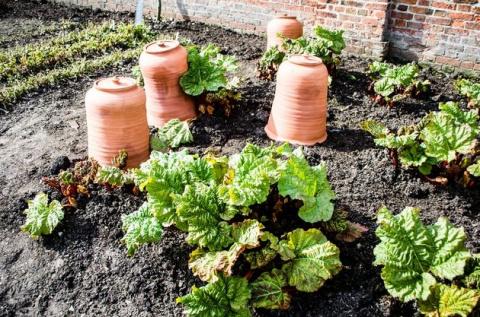 Огородные хитрости: зачем и как выращивают ревень под колпаком?
