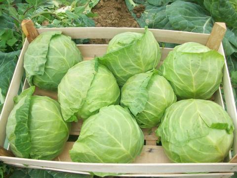 Проверено практикой. Как получить небывалый урожай капусты