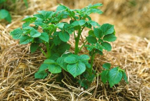 Собрал отличный урожай картофеля из-под соломы