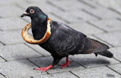Украшение для голубей (12 фото)