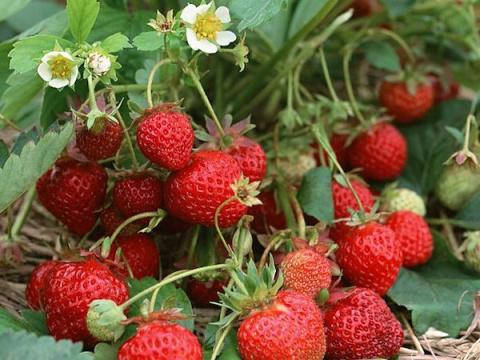 Почему у растения теряется сорт, и может ли переопылиться земляника