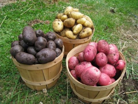 Как правильно отобрать, подготовить и хранить семенной картофель?