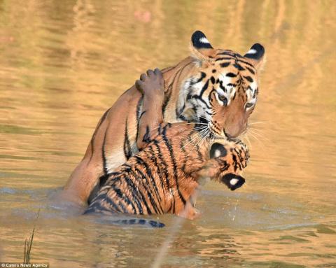 Фотограф снял купание тигренка мамой-тигрицей